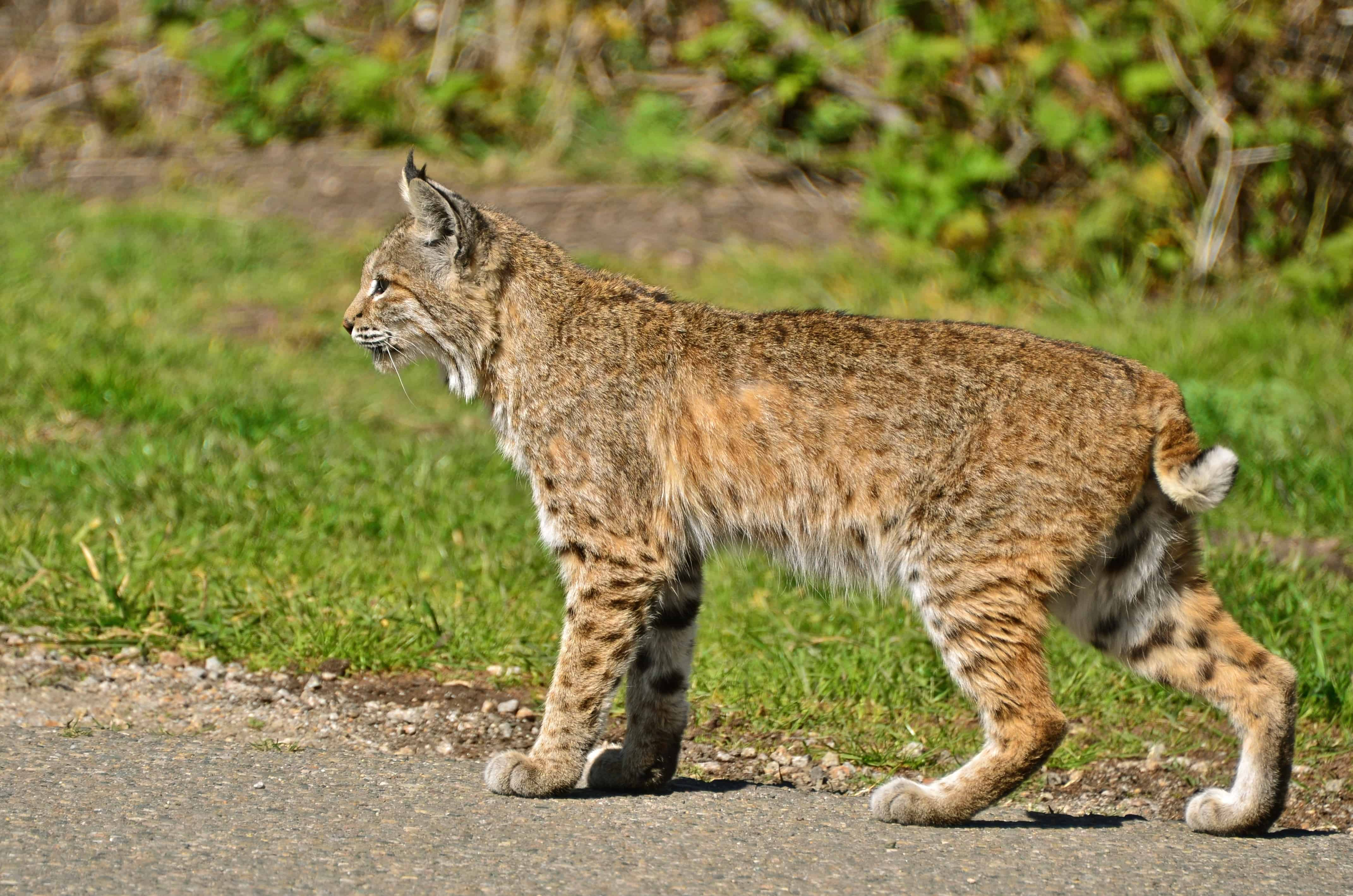 How much Bobcat weigh?