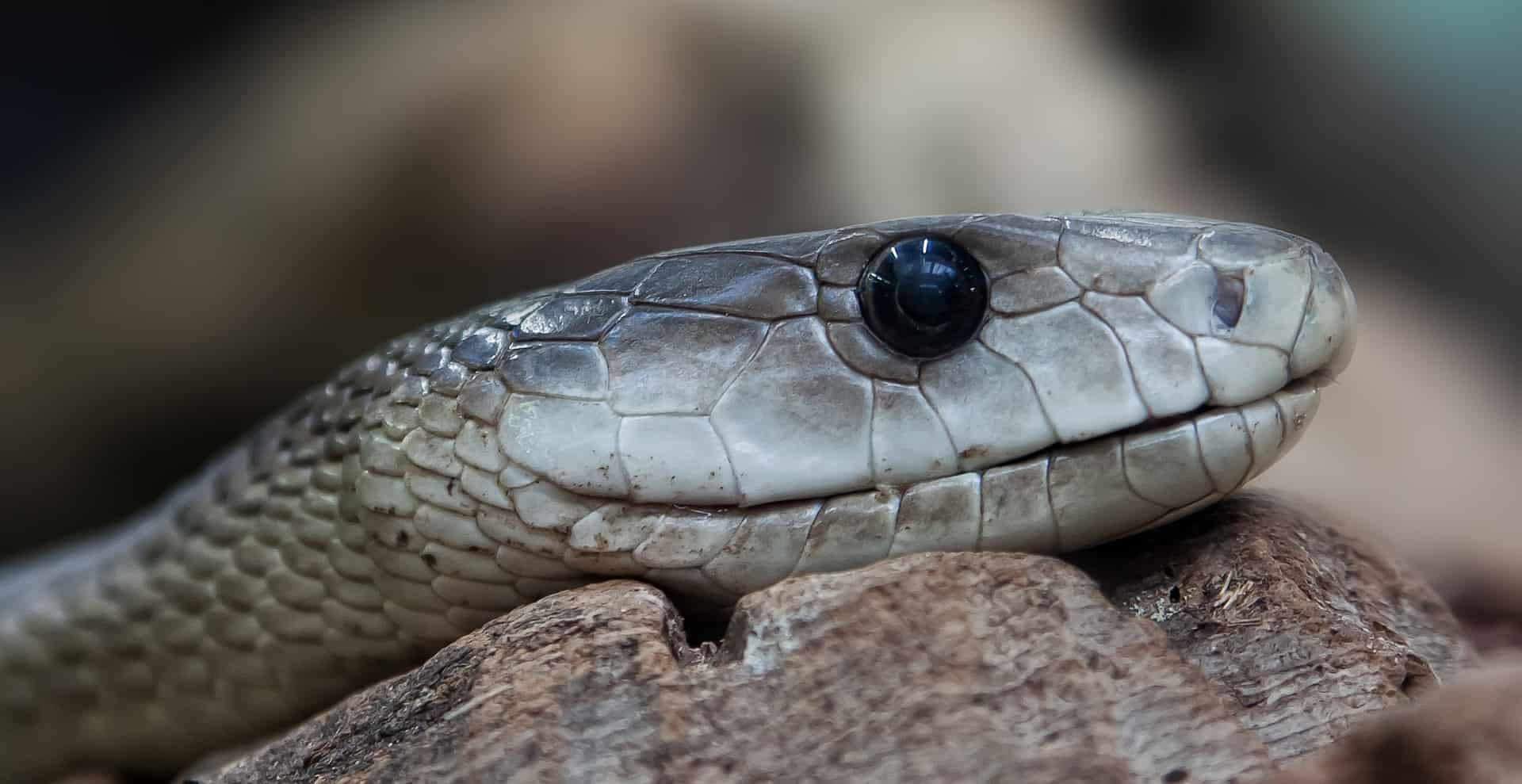 How poisonous is a Black Mamba?