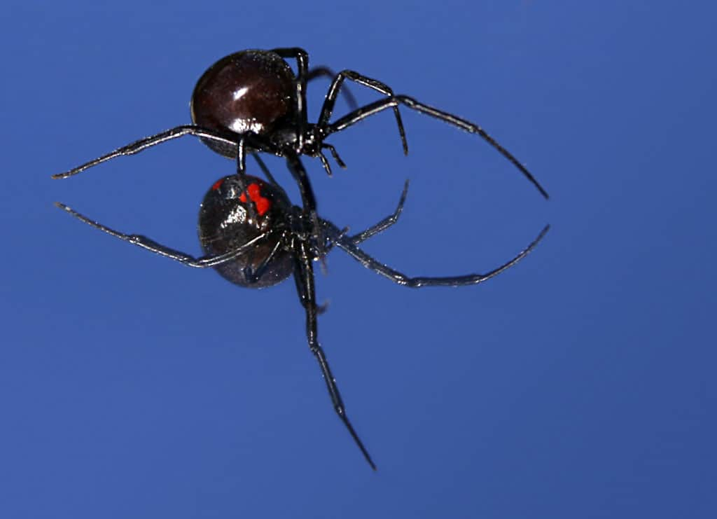 How poisonous is a Black Widow Spider?
