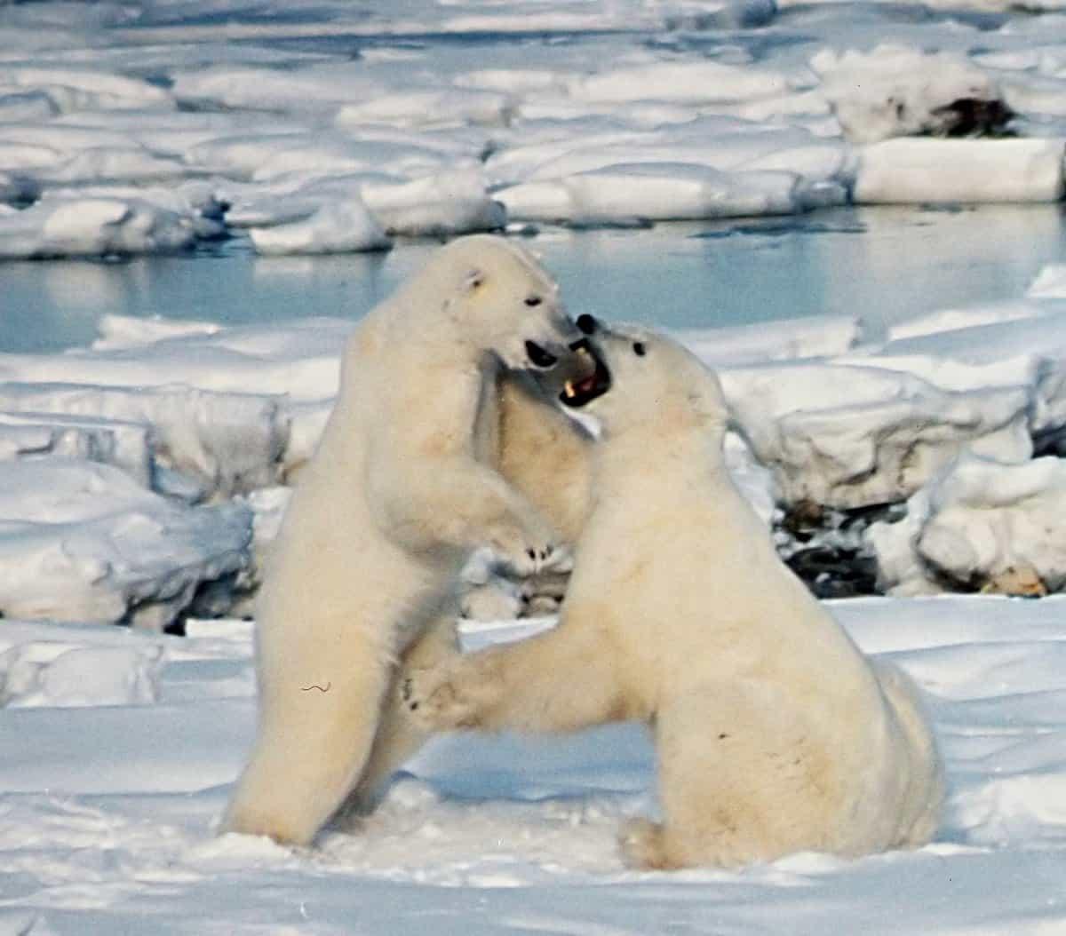 How tall is Polar bear?