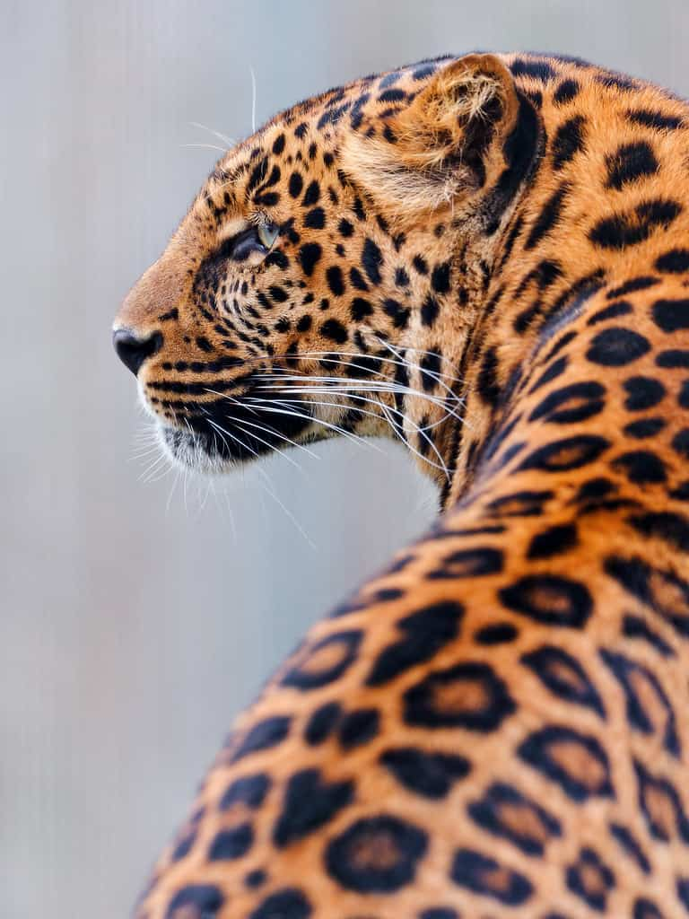 How to distinguish between a Jaguar and a Leopard?