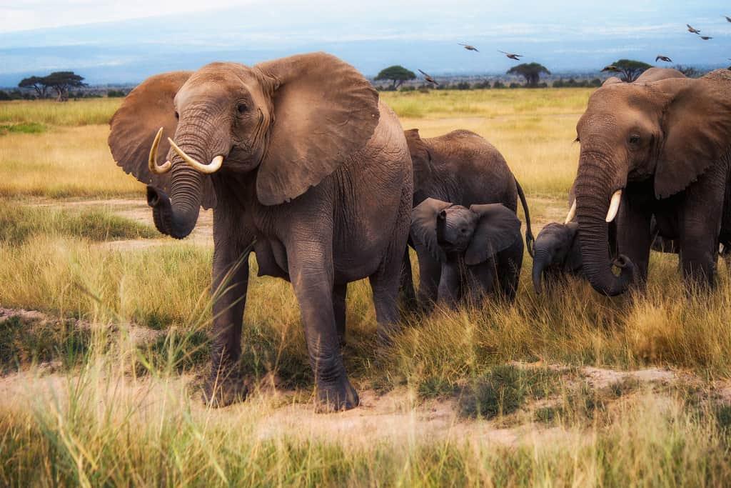 Is African Bush Elephant and African Savannah Elephant the same?