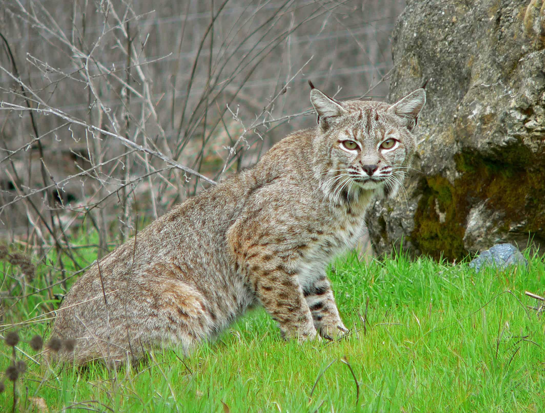 Is Bobcat smaller than Lynx?