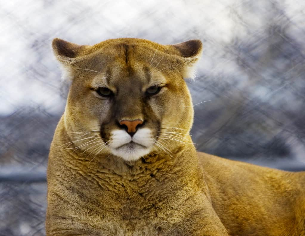 Is Cougar endangered?
