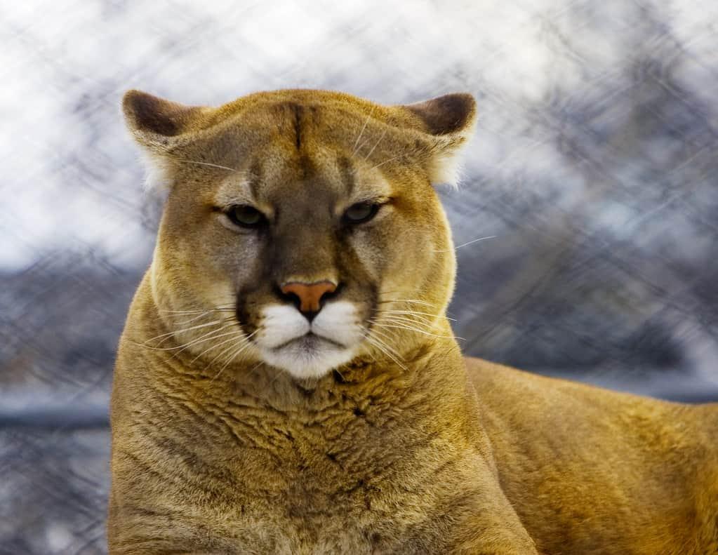 Is Cougar endangered?