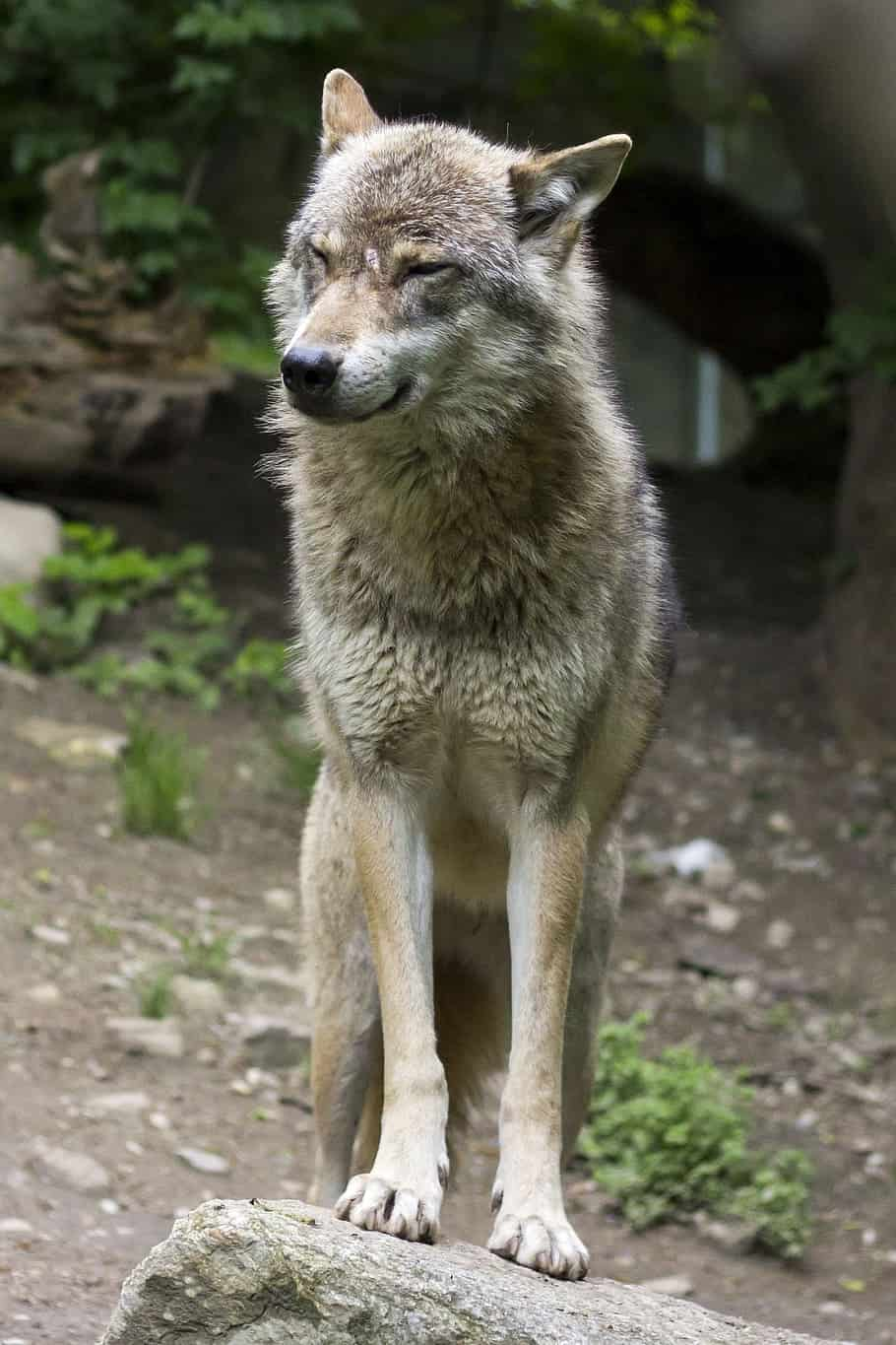 Is Gray wolf similar to a Dog?