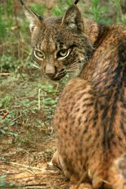 Is Lynx endangered?