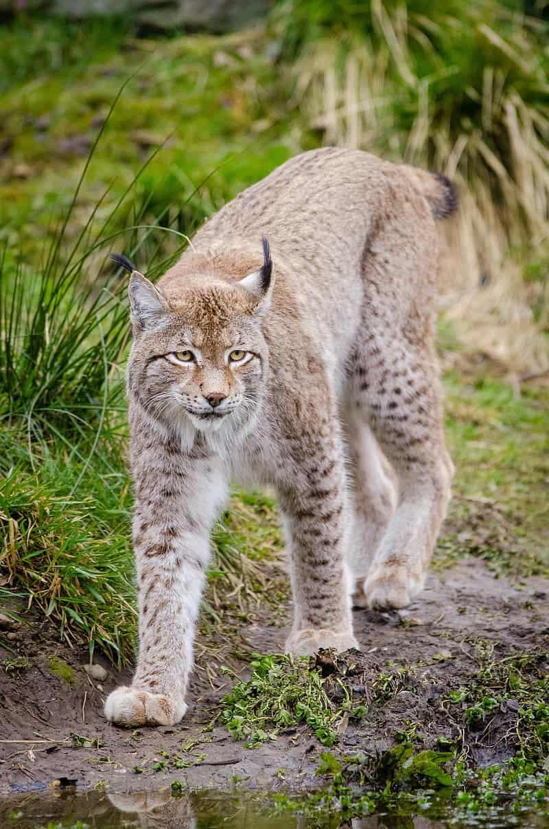 Is Lynx is heavier than Bobcat?