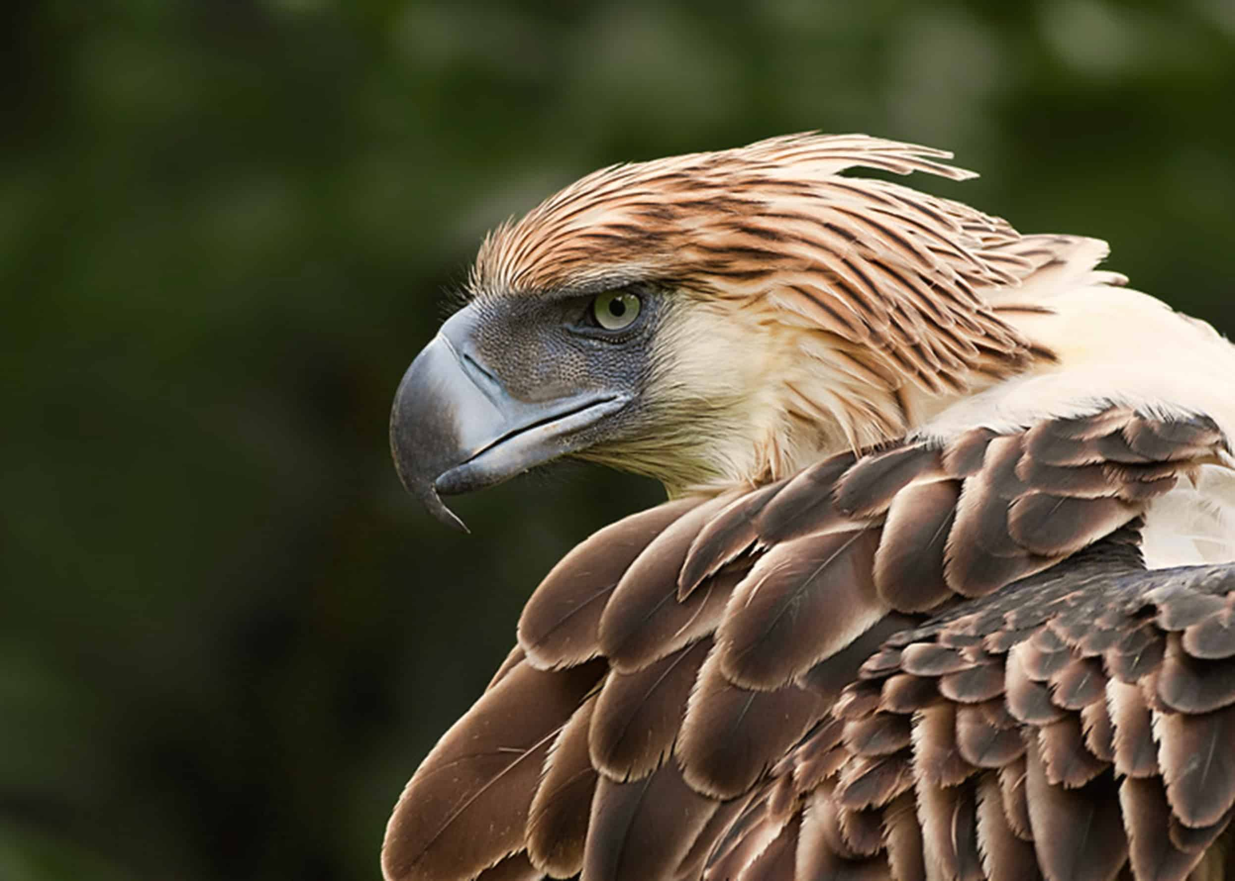 Is Philippine Eagle endangered?