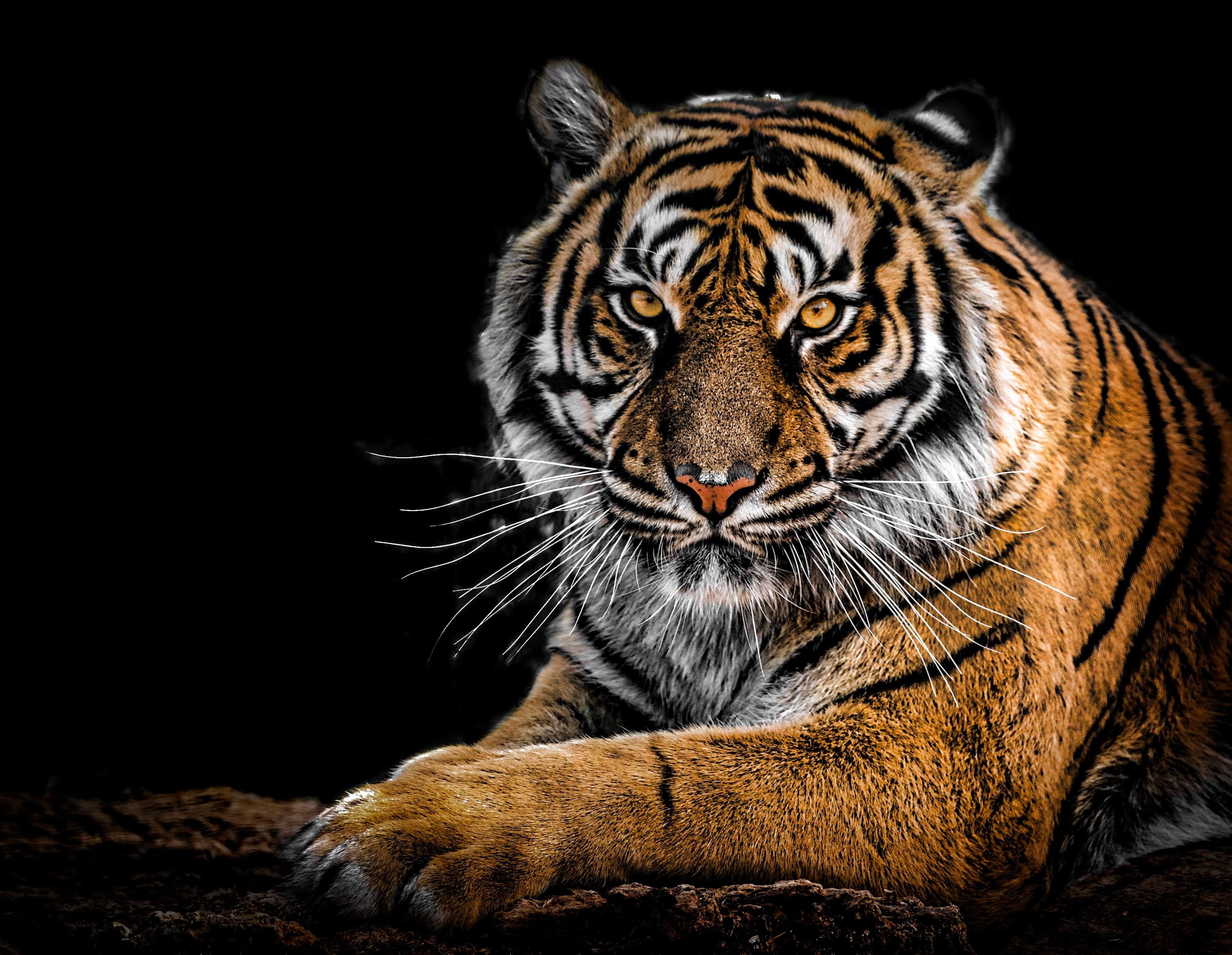 Is Siberian Tiger endangered?