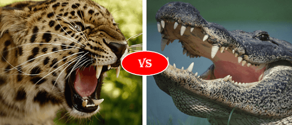 Jaguar vs Alligator