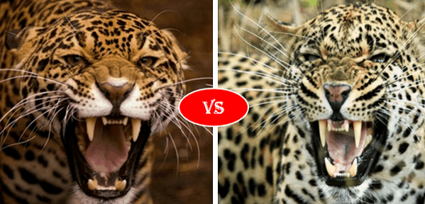 Jaguar vs Leopard