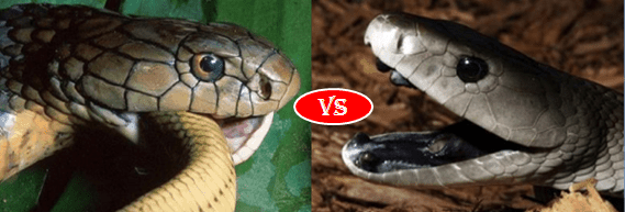 King Cobra vs Black mamba