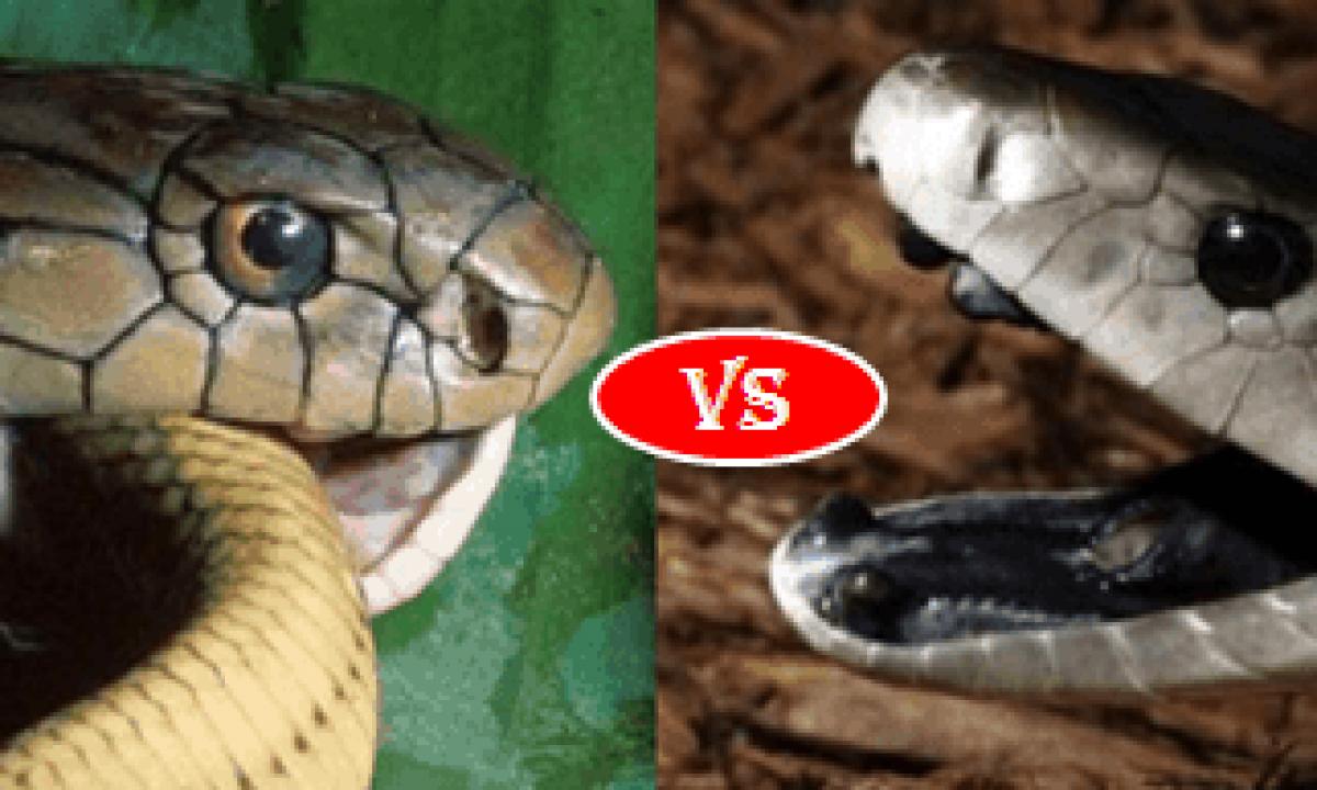 Black Mamba Vs King Cobra Fight Comparison Who Will Win