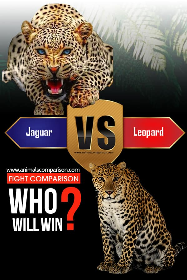 Leopard Vs Jaguar fight