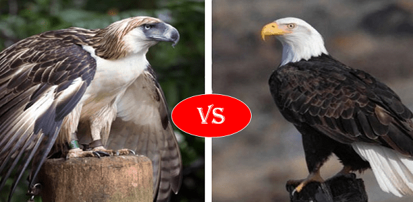 Philippine Eagle vs Bald Eagle
