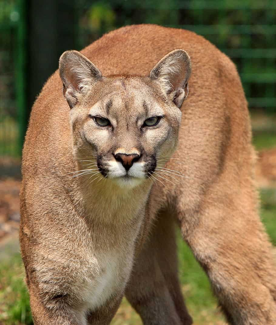 Puma vs Cougar vs Mountain, is there any difference?