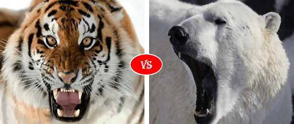 Siberian Tiger vs Polar bear