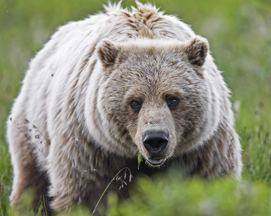 What are the interesting facts about Grizzly bears?