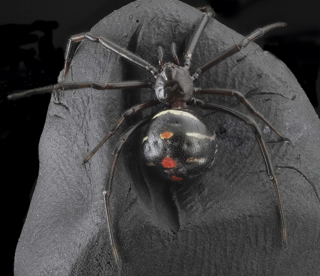 What are some interesting facts about Black Widow Spider?