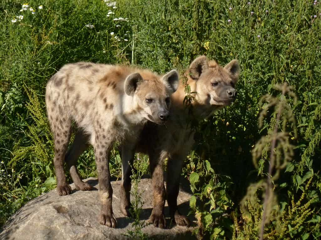 What are some interesting facts about Hyenas?