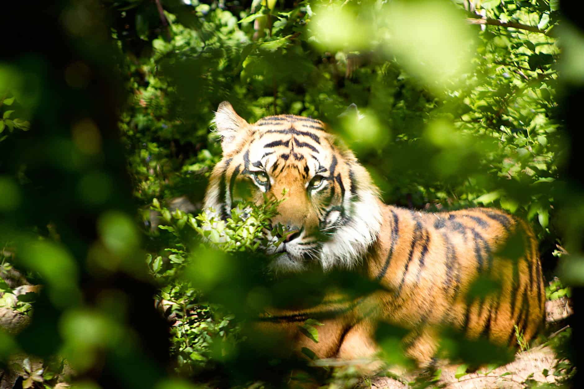 What are the interesting facts about Bengal Tiger?