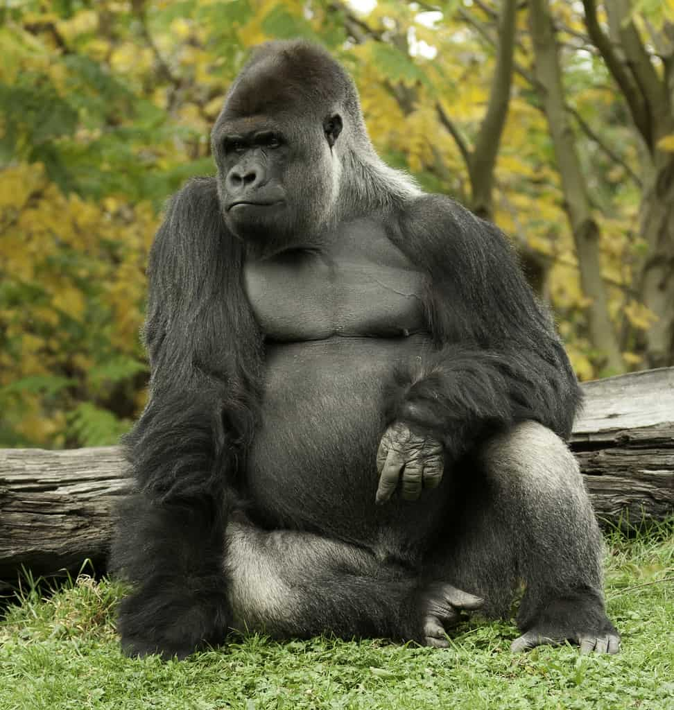 What are the interesting facts about Gorilla?