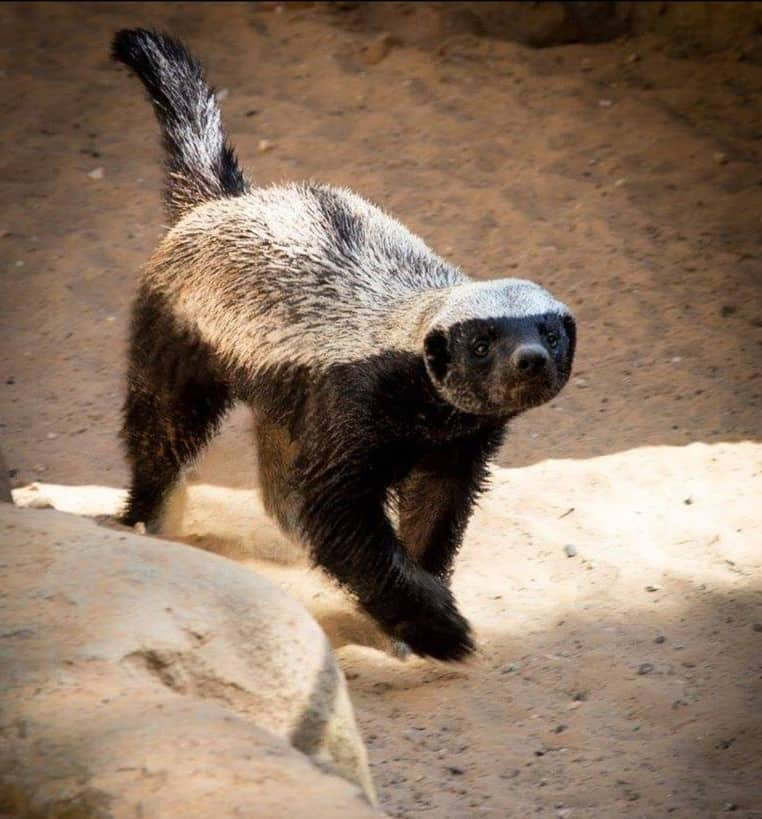 What are the interesting facts about Honey Badger?