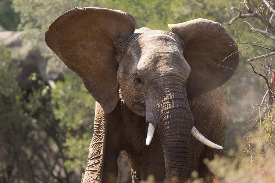 What are the interesting facts about the African Bush Elephant?