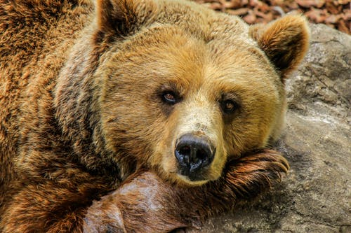 What are the interesting facts about the Grizzly bear?