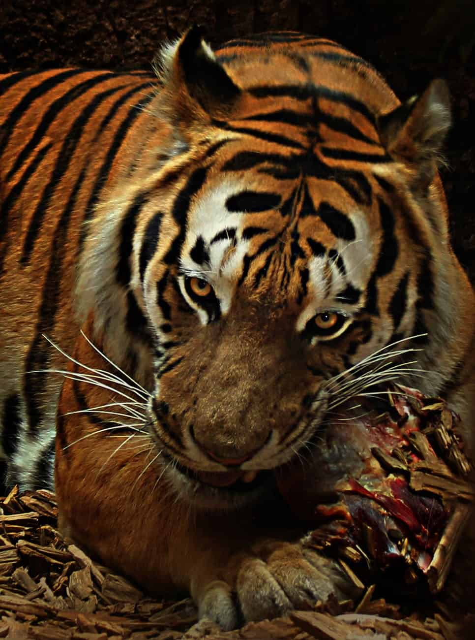 What does Bengal Tiger hunt?