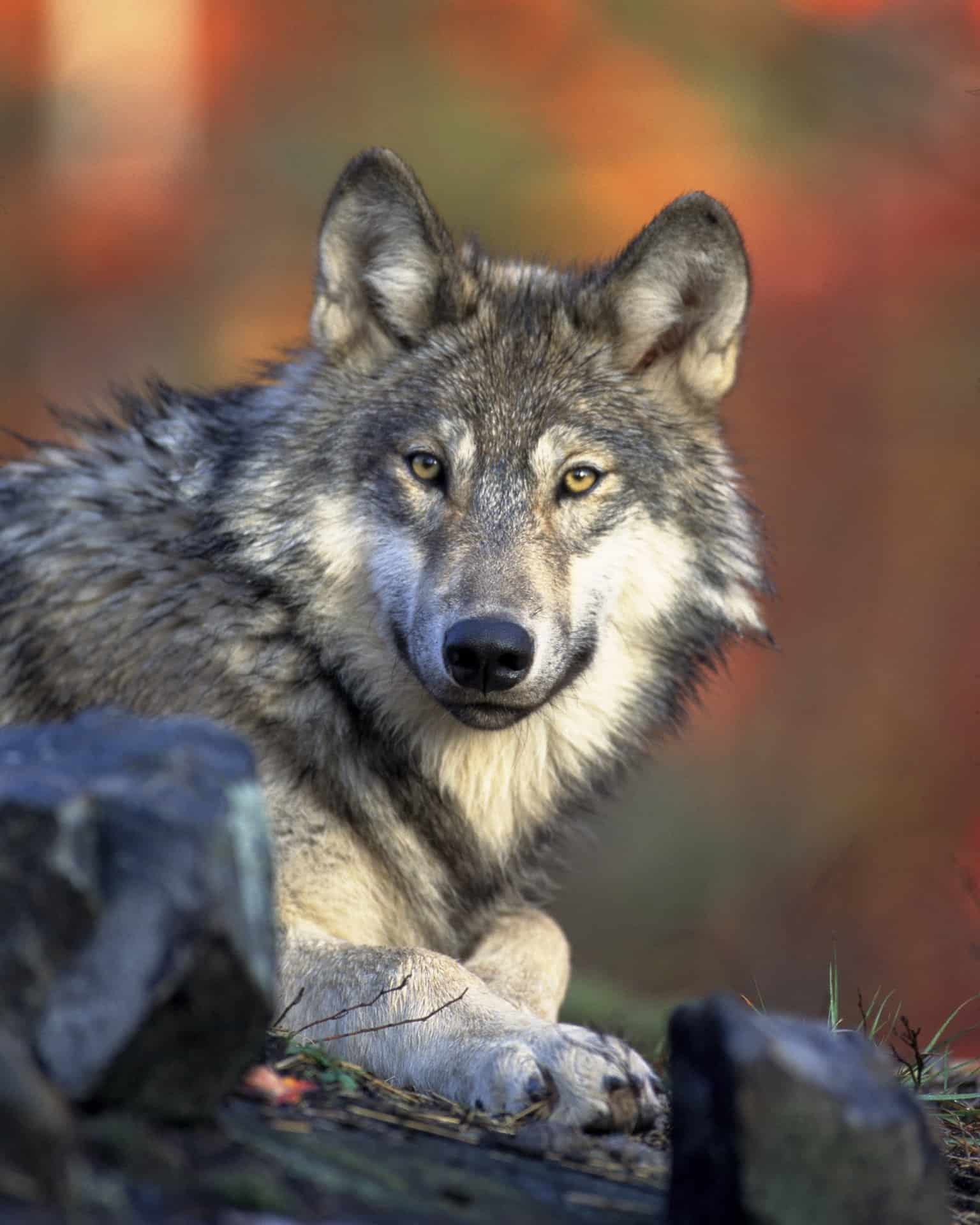 What does Gray wolf look like?