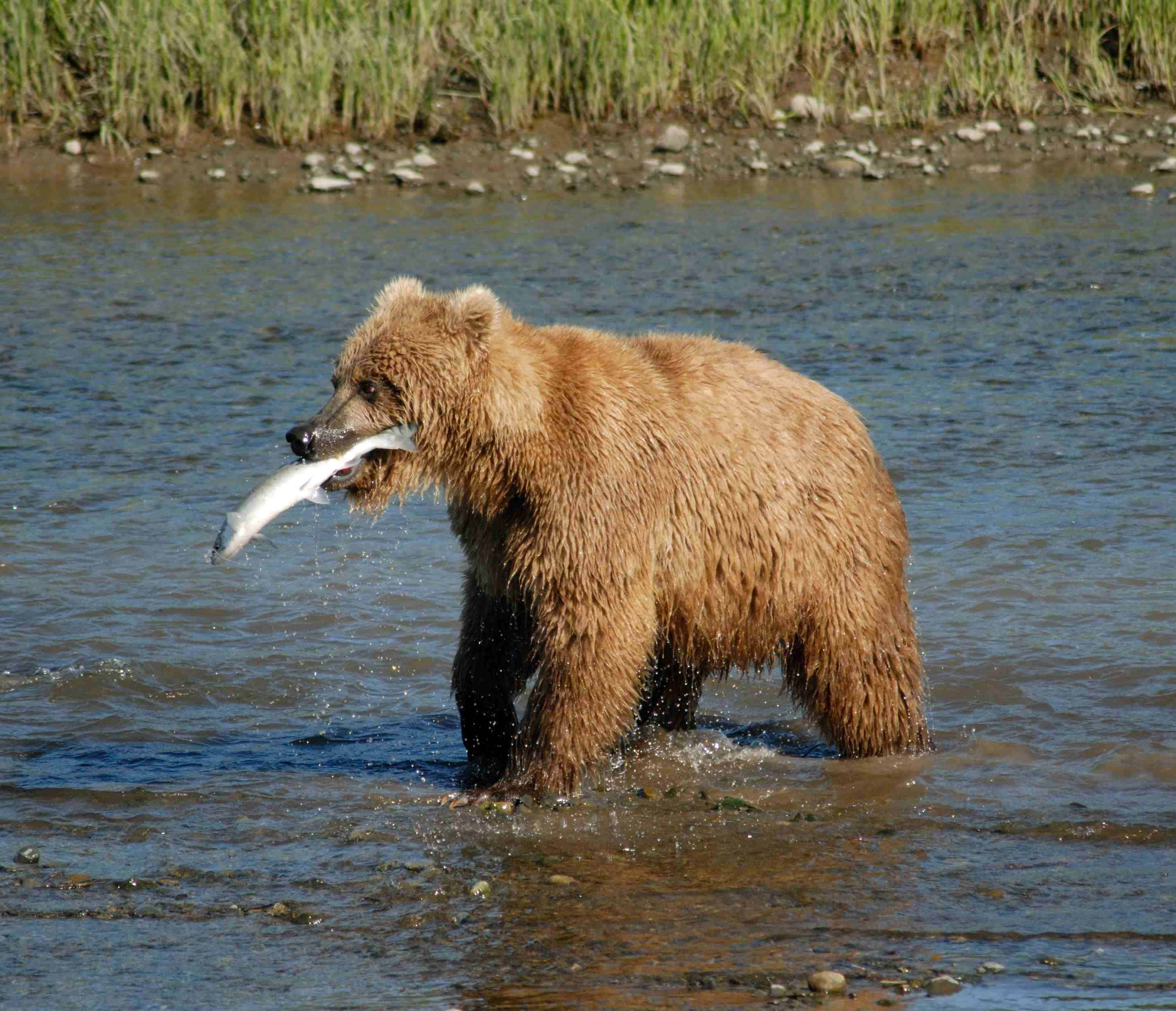 What does Grizzly bear eat?