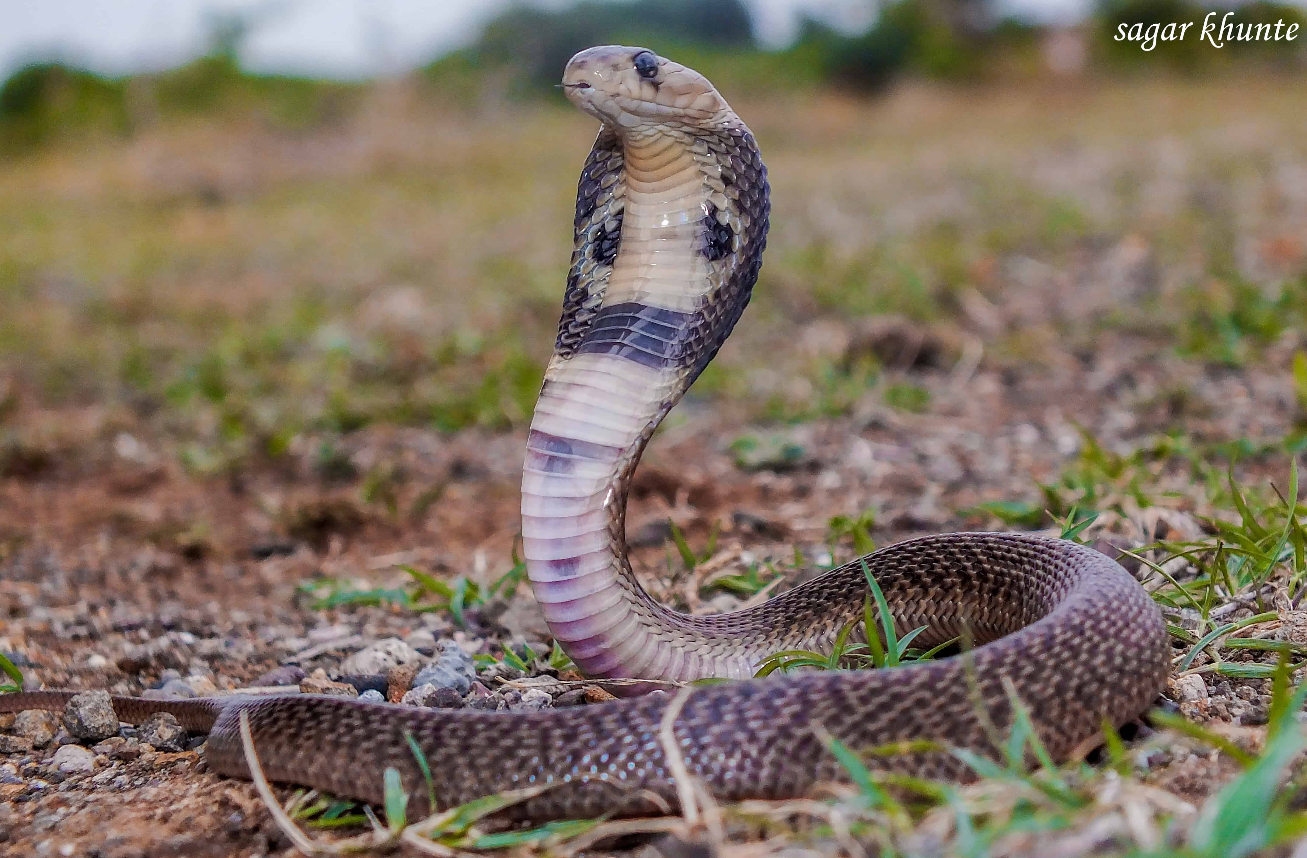 What does King Cobra eat?