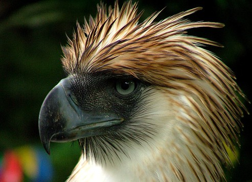 What does Philippine Eagle eat?