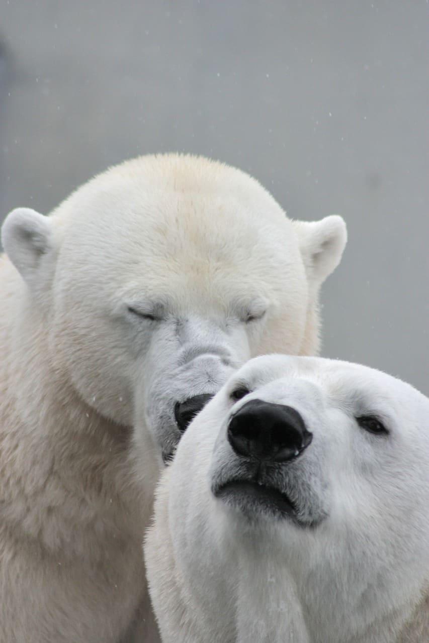 What does Polar bear do?