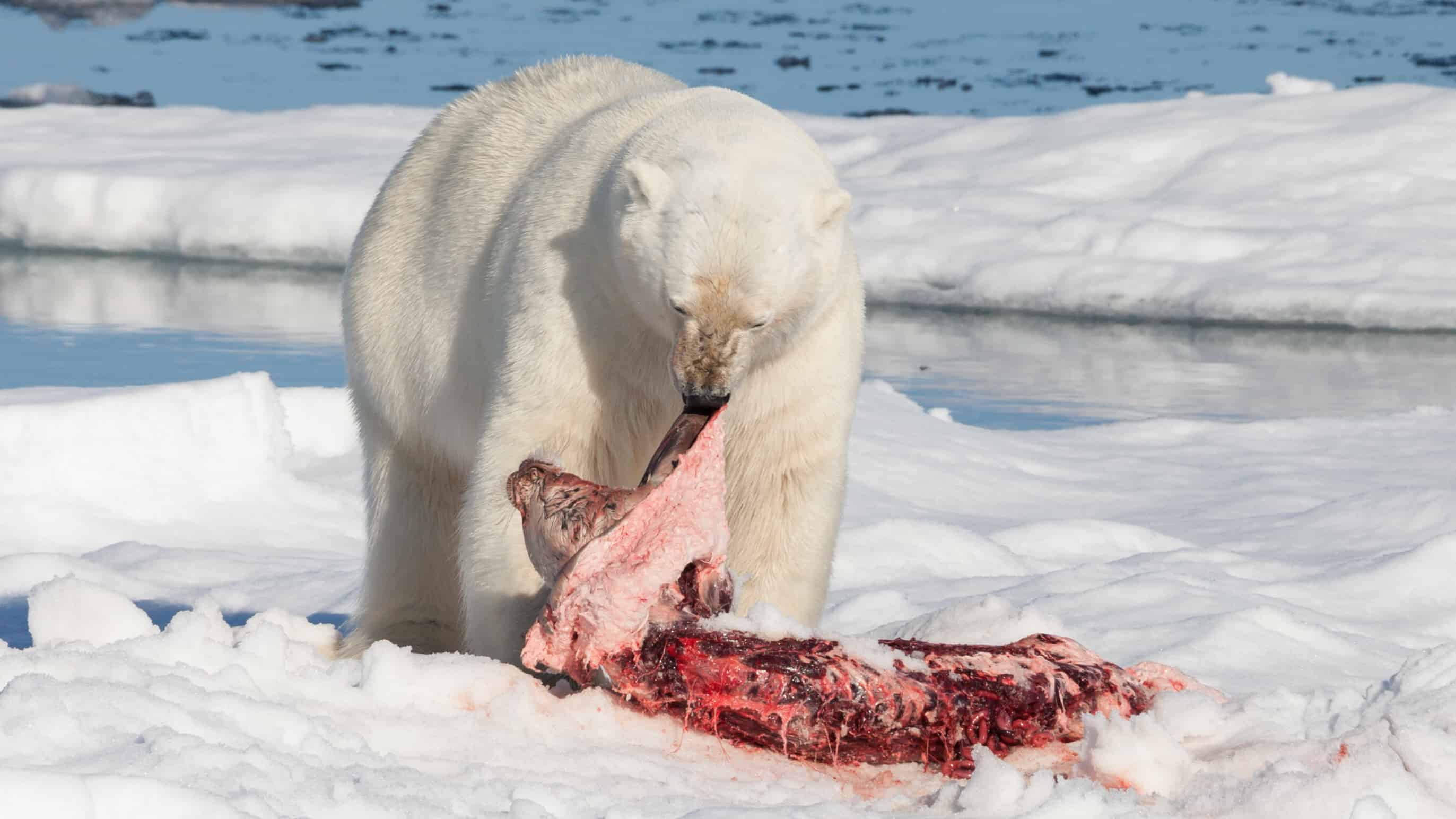 What does Polar bear eat?