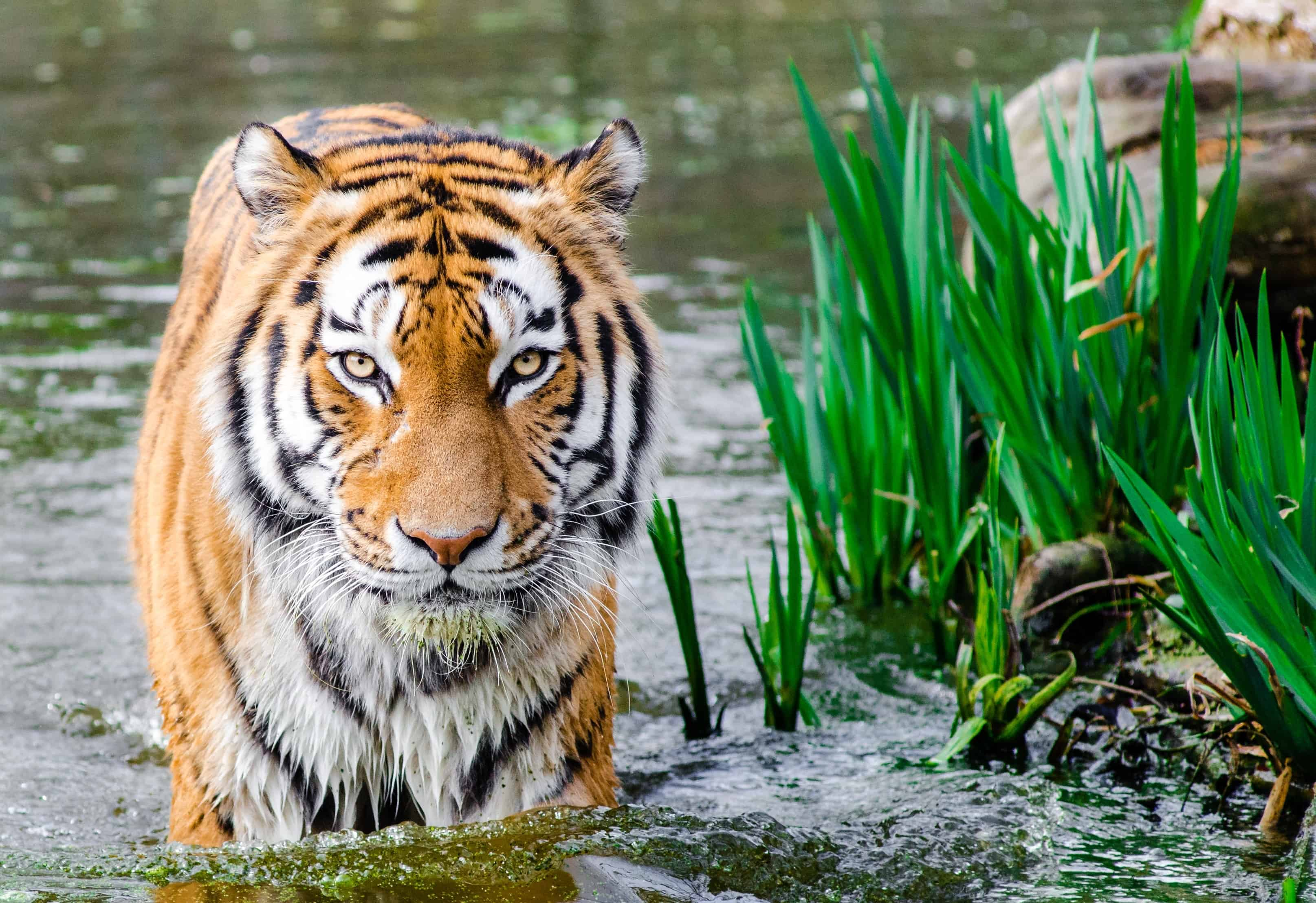 What does Siberian Tiger hunt?