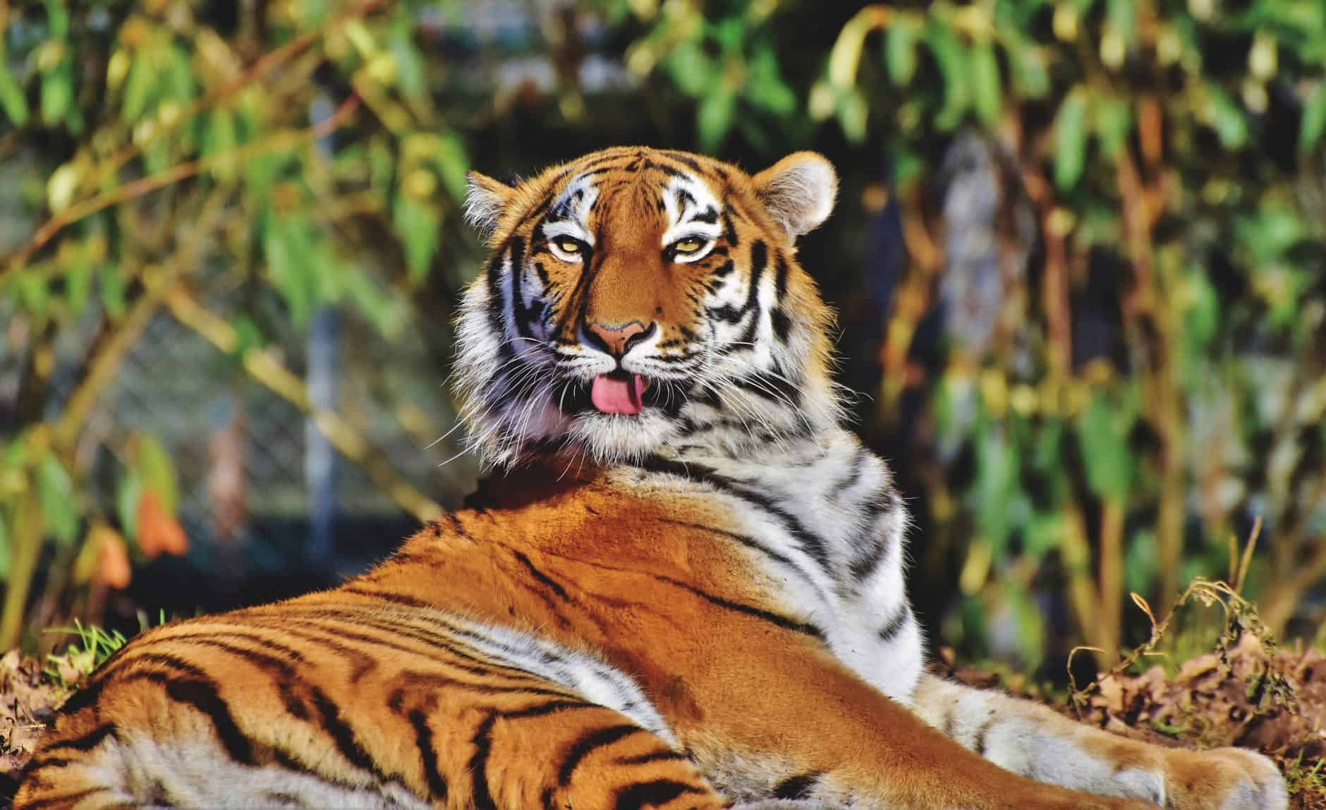What does Siberian Tiger look like?