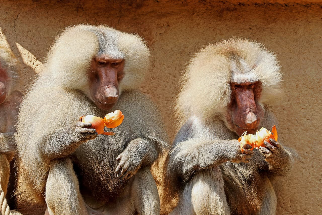 What does a Baboon eat?