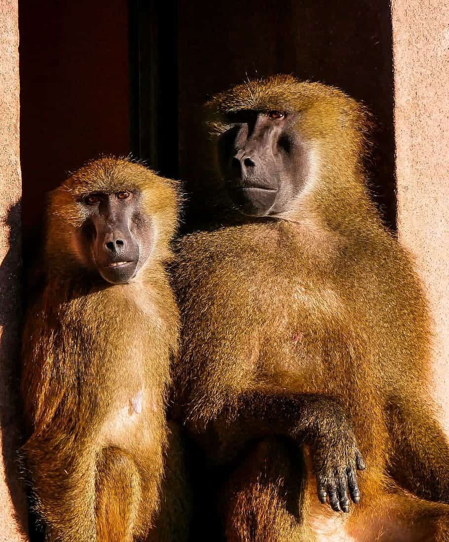 What does a Baboon look like?