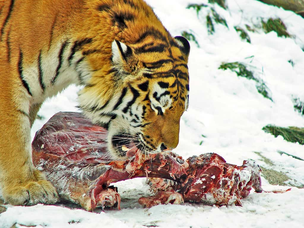 What does a Bengal Tiger hunt?
