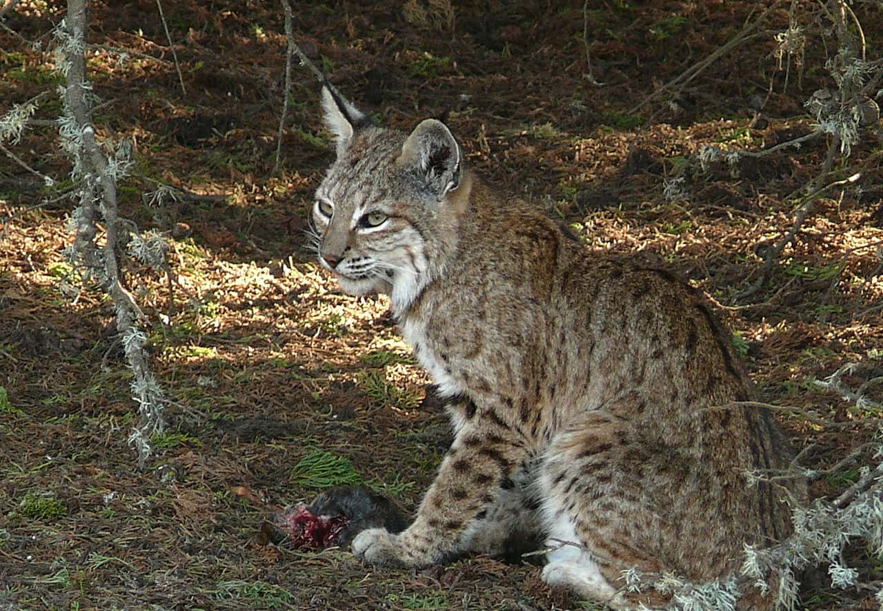 What does a Bobcat eat?