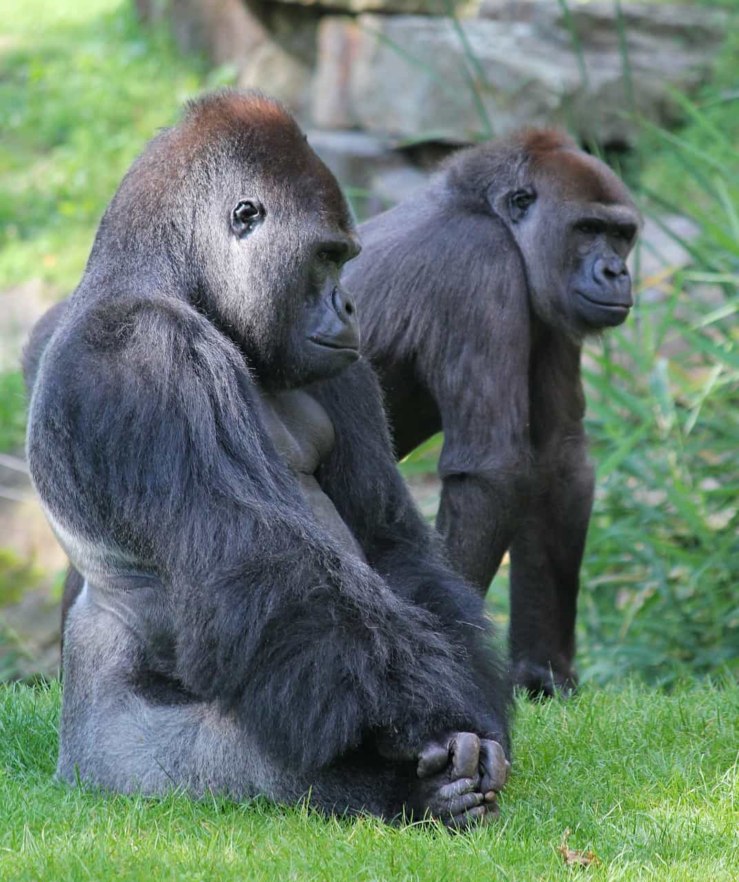 What does a Gorilla look like?