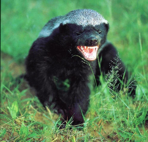 What does a Honey Badger look like?