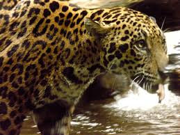 What does a Jaguar hunt?