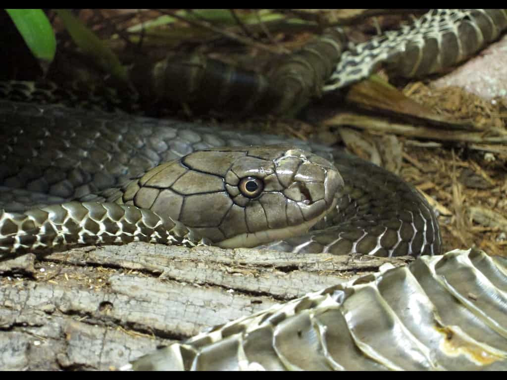 What does a King Cobra eat?