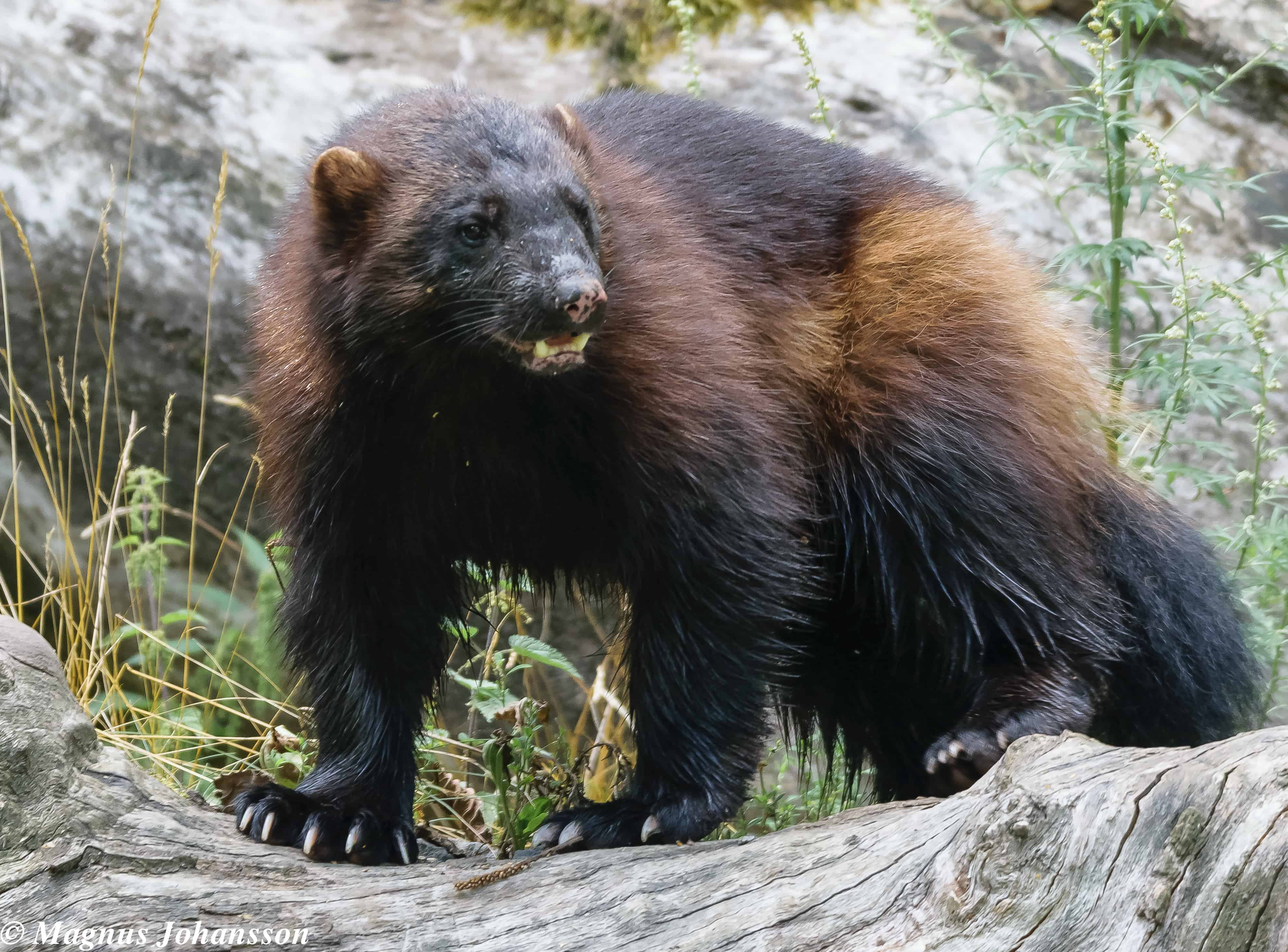 What does a Wolverine look like?