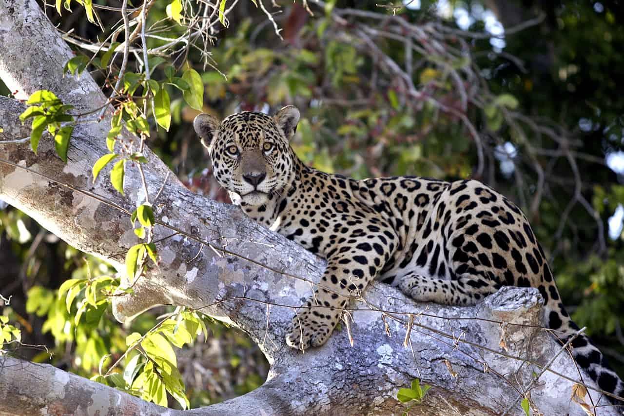 What does the Jaguar hunt?