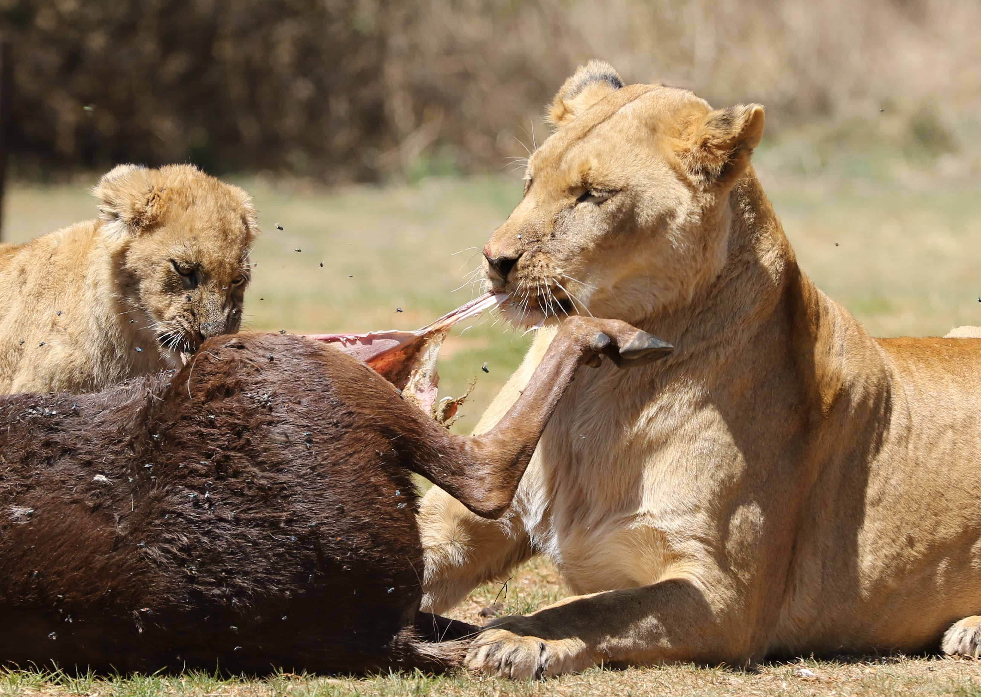 What is African lion eating habits?